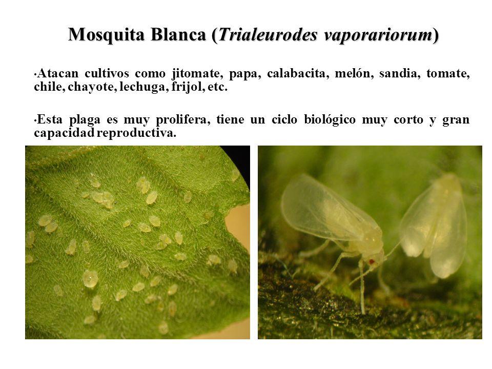 Mosquita Blanca (Trialeurodes vaporariorum) Atacan cultivos como jitomate, papa, calabacita, melón, sandia, tomate, chile, chayote, lechuga, frijol, e