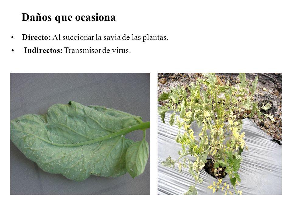 Daños que ocasiona Directo: Al succionar la savia de las plantas. Indirectos: Transmisor de virus.