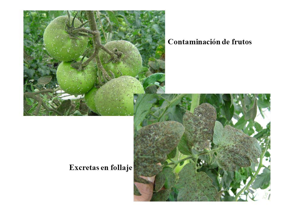 Contaminación de frutos Excretas en follaje