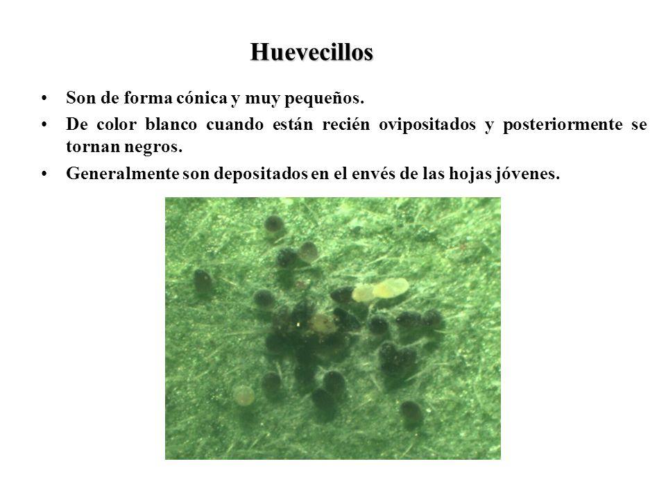 Huevecillos Son de forma cónica y muy pequeños. De color blanco cuando están recién ovipositados y posteriormente se tornan negros. Generalmente son d