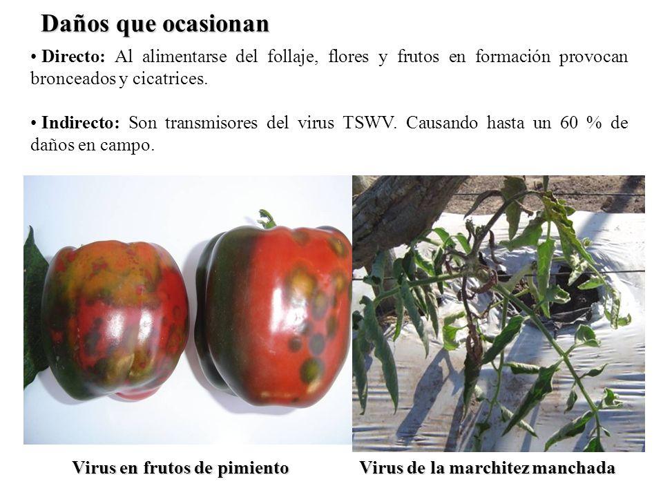 Directo: Al alimentarse del follaje, flores y frutos en formación provocan bronceados y cicatrices. Indirecto: Son transmisores del virus TSWV. Causan
