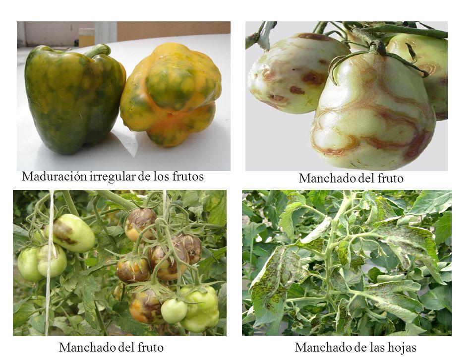 Maduración irregular de los frutos Manchado del fruto Manchado de las hojas