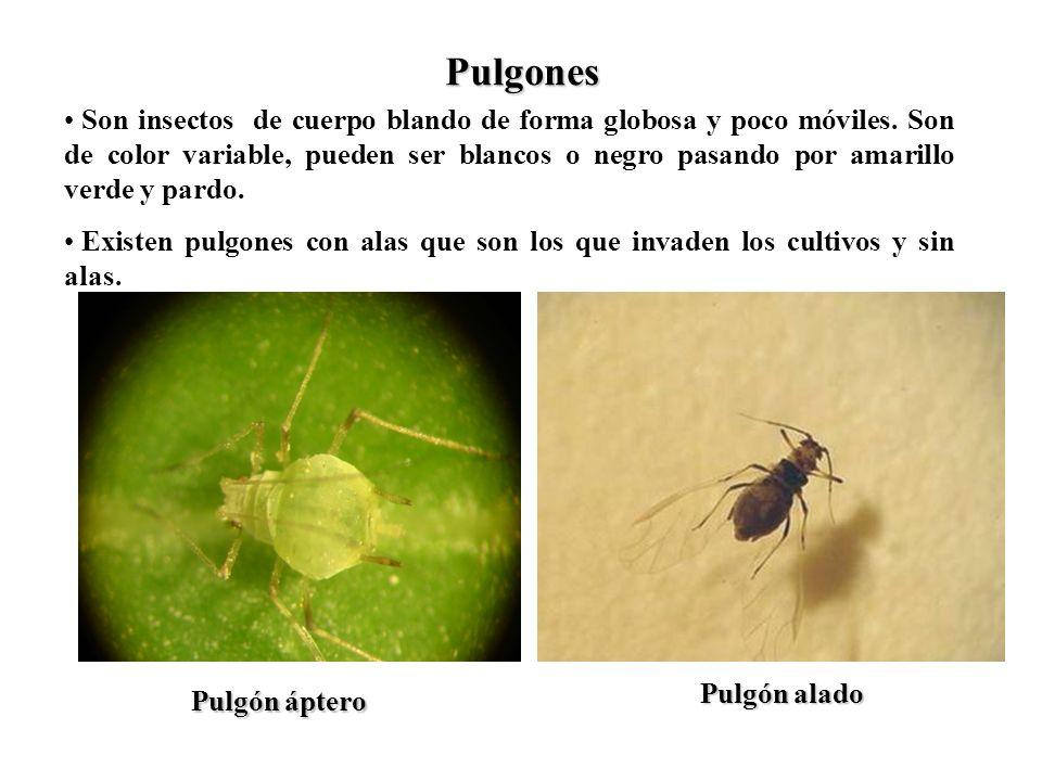 Pulgones Son insectos de cuerpo blando de forma globosa y poco móviles. Son de color variable, pueden ser blancos o negro pasando por amarillo verde y