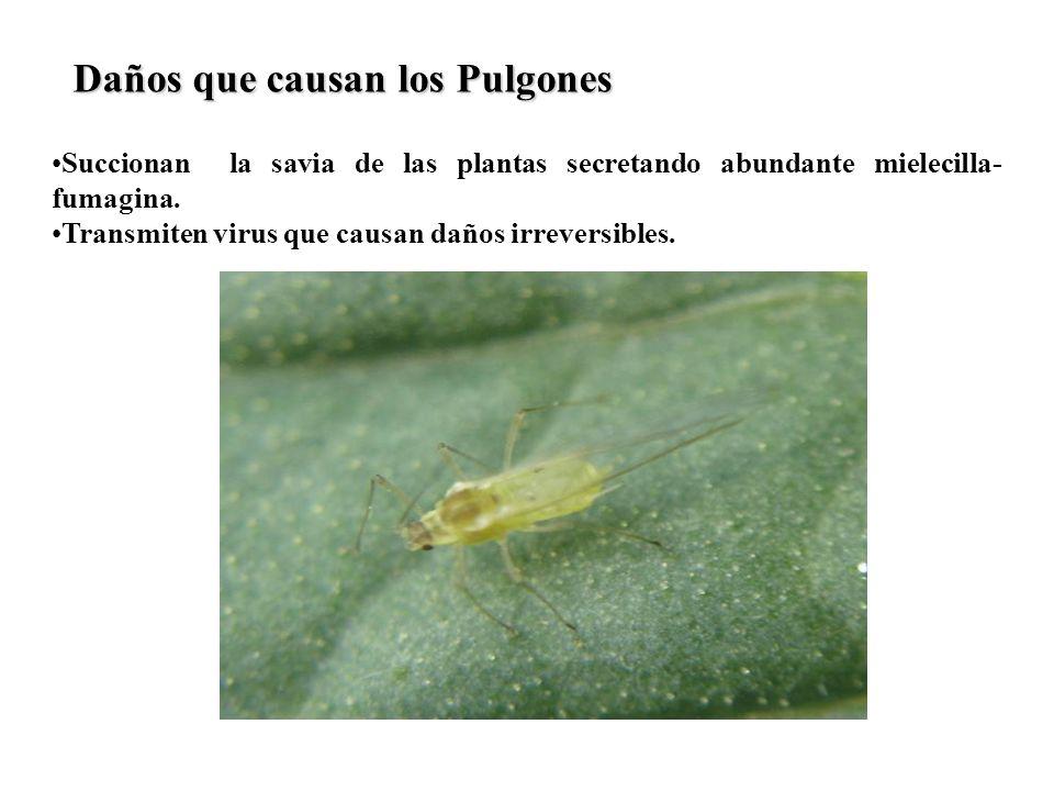 Succionan la savia de las plantas secretando abundante mielecilla- fumagina. Transmiten virus que causan daños irreversibles. Daños que causan los Pul