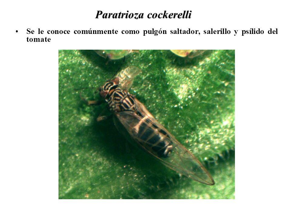 Paratrioza cockerelli Se le conoce comúnmente como pulgón saltador, salerillo y psílido del tomate