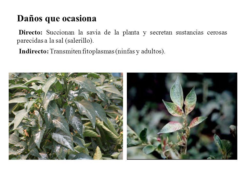 Directo: Succionan la savia de la planta y secretan sustancias cerosas parecidas a la sal (salerillo). Indirecto: Transmiten fitoplasmas (ninfas y adu