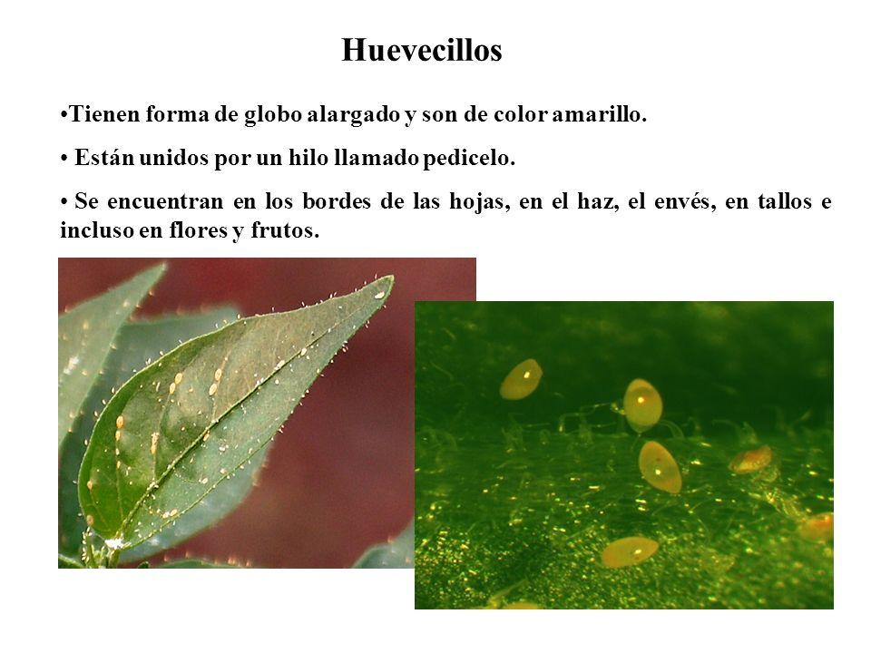 Huevecillos Tienen forma de globo alargado y son de color amarillo. Están unidos por un hilo llamado pedicelo. Se encuentran en los bordes de las hoja