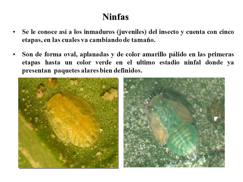 Ninfas Se le conoce así a los inmaduros (juveniles) del insecto y cuenta con cinco etapas, en las cuales va cambiando de tamaño. Son de forma oval, ap