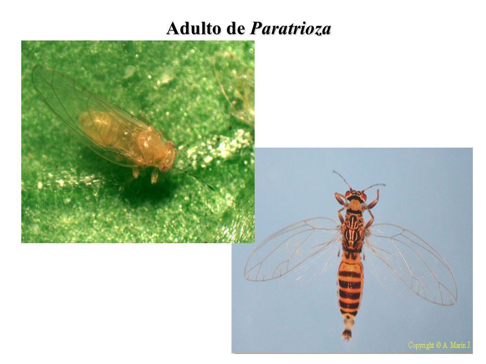 Ciclo de Vida de Paratrioza Huevecillos Ninfa Adulto *Duración del ciclo es de 15 a 30 días*