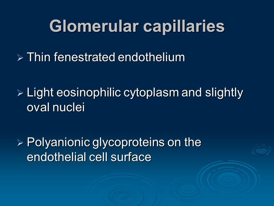 Glomerular capillaries Thin fenestrated endothelium Thin fenestrated endothelium Light eosinophilic cytoplasm and slightly oval nuclei Light eosinophi