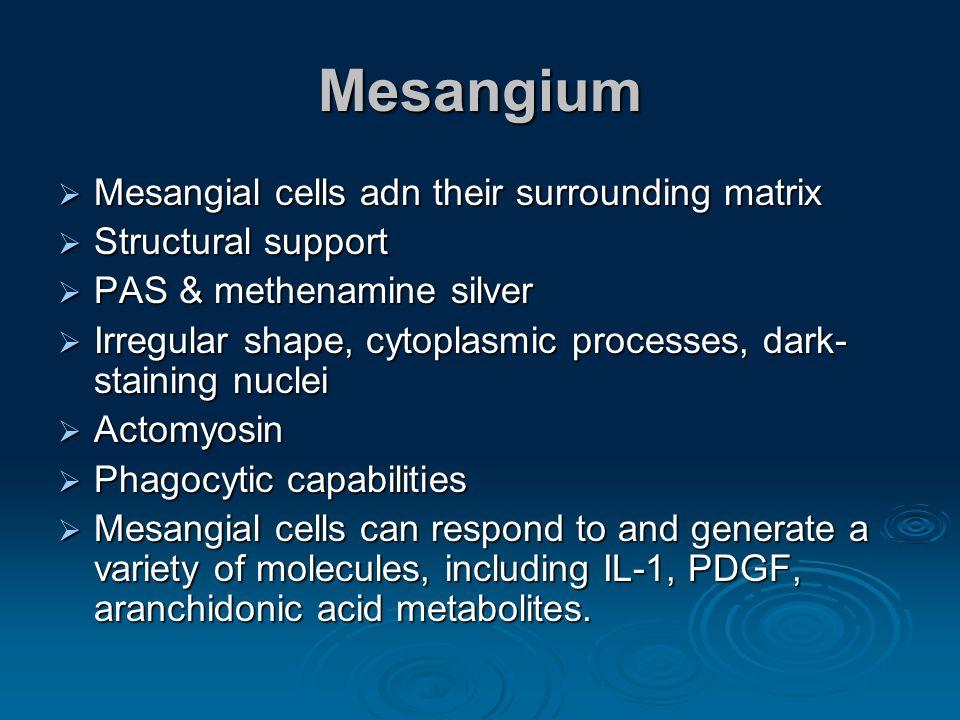 Mesangium Mesangial cells adn their surrounding matrix Mesangial cells adn their surrounding matrix Structural support Structural support PAS & methen
