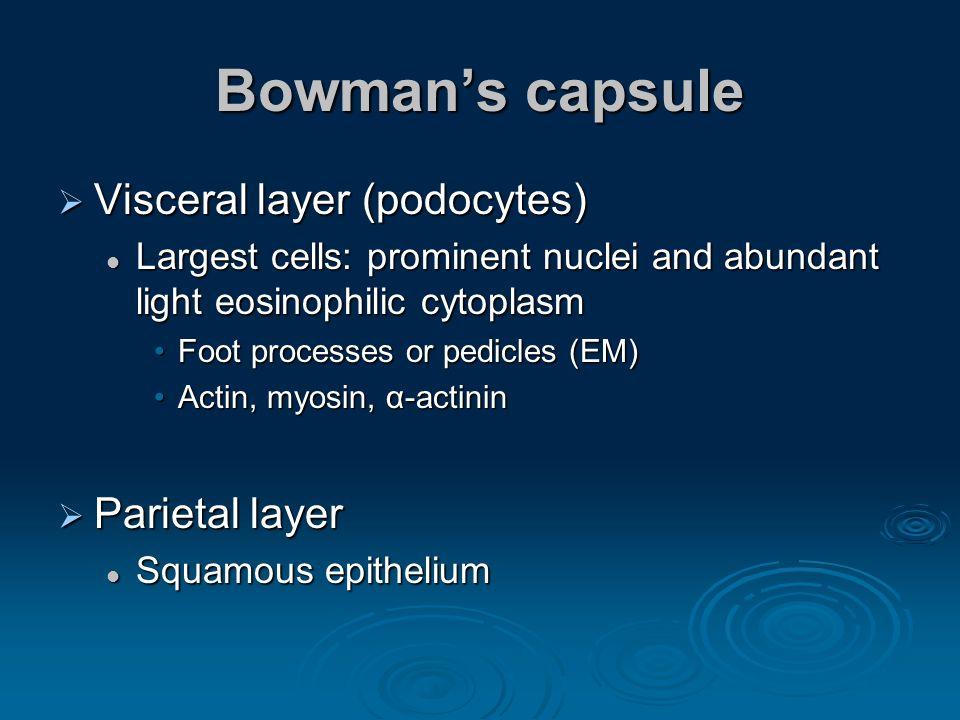 Bowmans capsule Visceral layer (podocytes) Visceral layer (podocytes) Largest cells: prominent nuclei and abundant light eosinophilic cytoplasm Larges