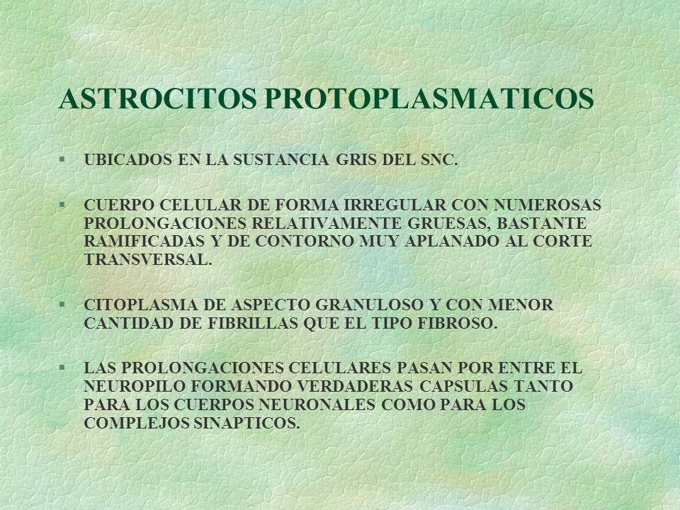 ASTROCITOS PROTOPLASMATICOS §UBICADOS EN LA SUSTANCIA GRIS DEL SNC. §CUERPO CELULAR DE FORMA IRREGULAR CON NUMEROSAS PROLONGACIONES RELATIVAMENTE GRUE