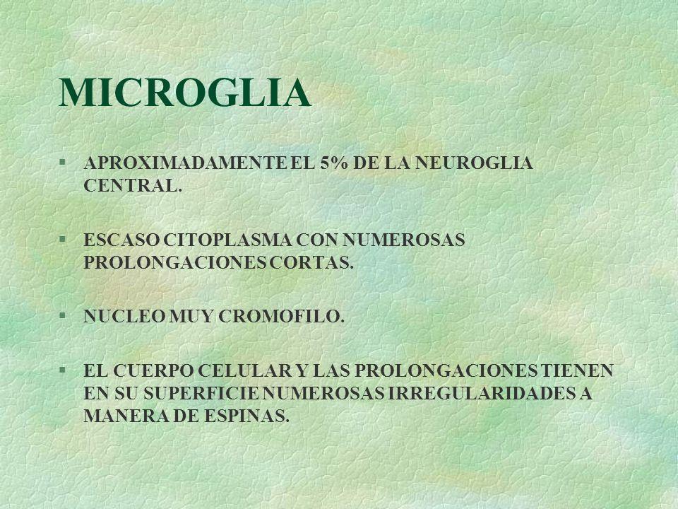 MICROGLIA §APROXIMADAMENTE EL 5% DE LA NEUROGLIA CENTRAL. §ESCASO CITOPLASMA CON NUMEROSAS PROLONGACIONES CORTAS. §NUCLEO MUY CROMOFILO. §EL CUERPO CE