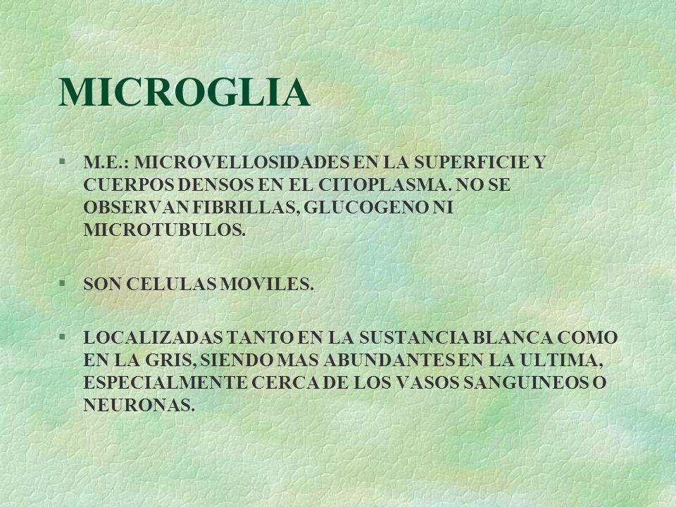 MICROGLIA §M.E.: MICROVELLOSIDADES EN LA SUPERFICIE Y CUERPOS DENSOS EN EL CITOPLASMA. NO SE OBSERVAN FIBRILLAS, GLUCOGENO NI MICROTUBULOS. §SON CELUL