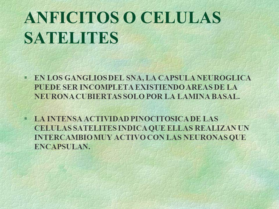ANFICITOS O CELULAS SATELITES §EN LOS GANGLIOS DEL SNA, LA CAPSULA NEUROGLICA PUEDE SER INCOMPLETA EXISTIENDO AREAS DE LA NEURONA CUBIERTAS SOLO POR L