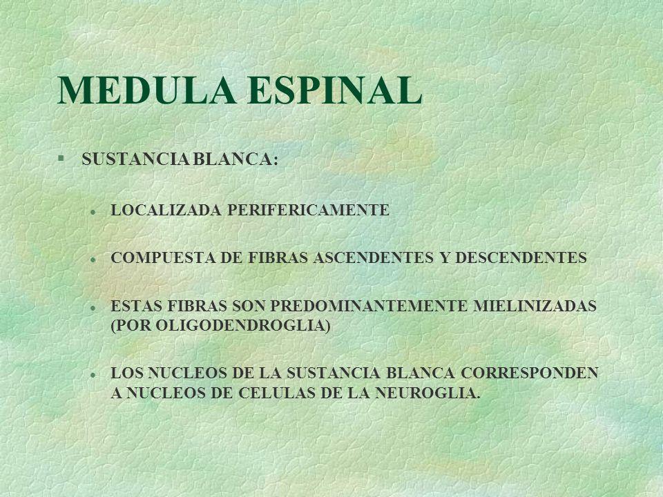 MEDULA ESPINAL §SUSTANCIA BLANCA: l LOCALIZADA PERIFERICAMENTE l COMPUESTA DE FIBRAS ASCENDENTES Y DESCENDENTES l ESTAS FIBRAS SON PREDOMINANTEMENTE M