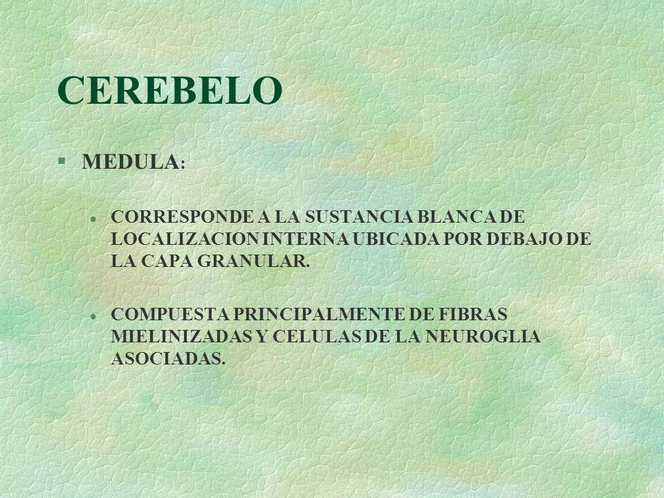 CEREBELO §MEDULA : l CORRESPONDE A LA SUSTANCIA BLANCA DE LOCALIZACION INTERNA UBICADA POR DEBAJO DE LA CAPA GRANULAR. l COMPUESTA PRINCIPALMENTE DE F