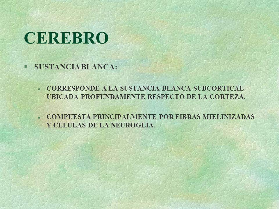 CEREBRO §SUSTANCIA BLANCA: l CORRESPONDE A LA SUSTANCIA BLANCA SUBCORTICAL UBICADA PROFUNDAMENTE RESPECTO DE LA CORTEZA. l COMPUESTA PRINCIPALMENTE PO