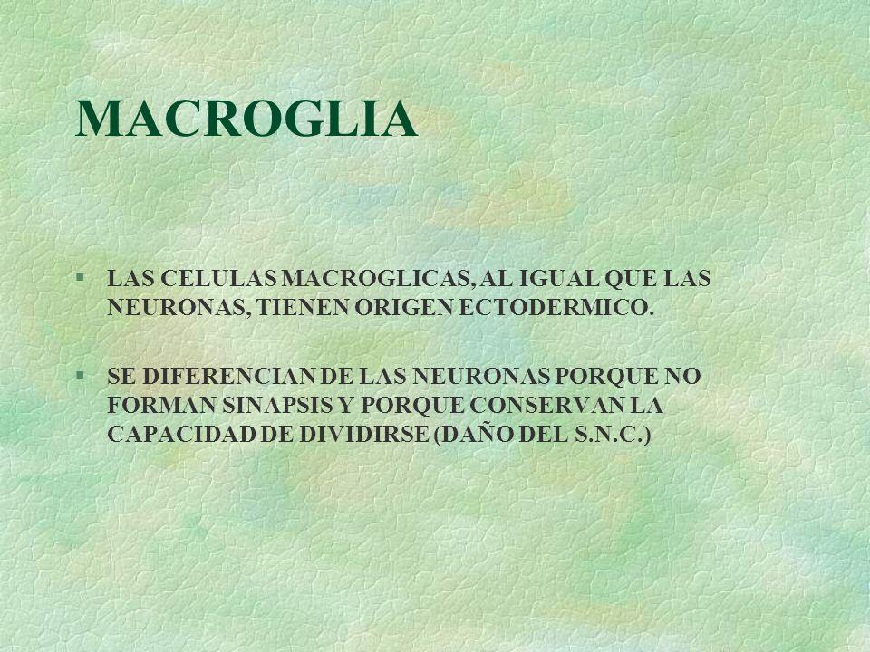 MACROGLIA §LAS CELULAS MACROGLICAS, AL IGUAL QUE LAS NEURONAS, TIENEN ORIGEN ECTODERMICO. §SE DIFERENCIAN DE LAS NEURONAS PORQUE NO FORMAN SINAPSIS Y