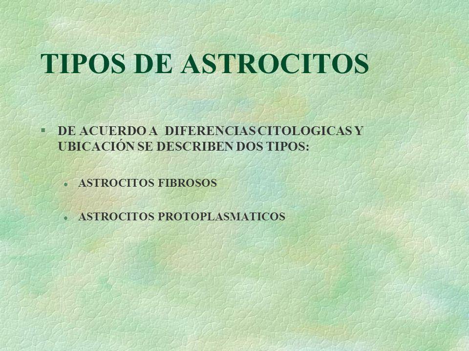 TIPOS DE ASTROCITOS §DE ACUERDO A DIFERENCIAS CITOLOGICAS Y UBICACIÓN SE DESCRIBEN DOS TIPOS: l ASTROCITOS FIBROSOS l ASTROCITOS PROTOPLASMATICOS