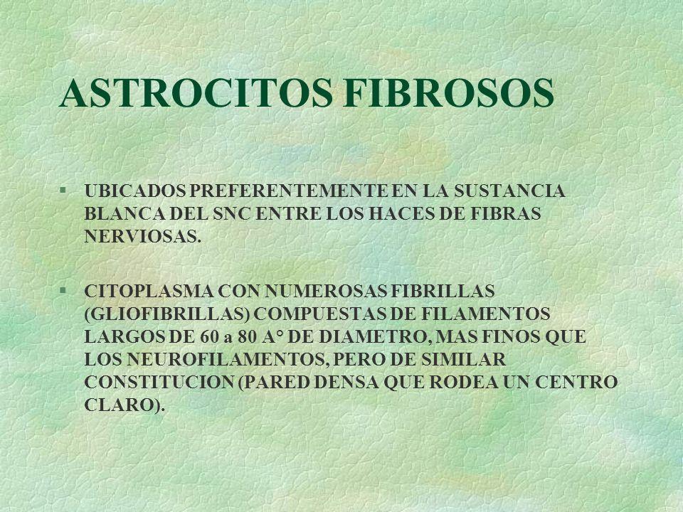 ASTROCITOS FIBROSOS §UBICADOS PREFERENTEMENTE EN LA SUSTANCIA BLANCA DEL SNC ENTRE LOS HACES DE FIBRAS NERVIOSAS. §CITOPLASMA CON NUMEROSAS FIBRILLAS