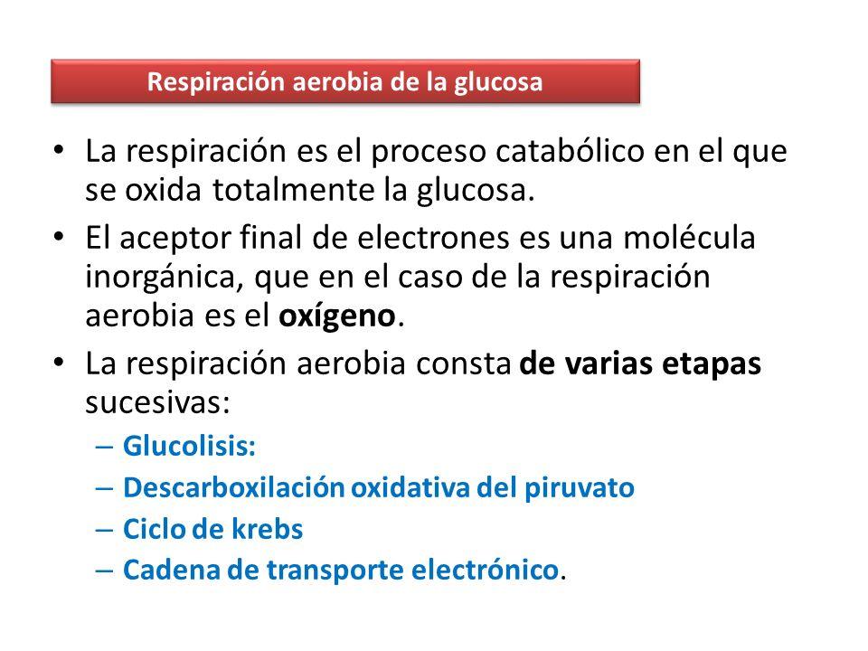 La energía que se libera cuando pasan los electrones se utiliza para bombear protones desde la matriz mitocondrial al espacio intermembrana.