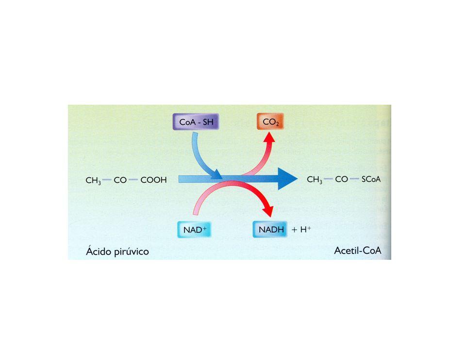 Es una serie de reacciones que forman una ruta metabólica cíclica.