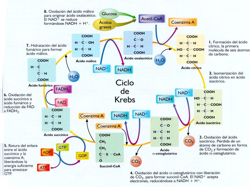 El ácido graso se une al coenzima A, formando acil graso CoA.