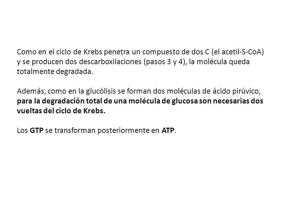 Balance energético del ciclo de Krebs 3 NADH 1 FADH 2 1 GTP 3 NADH 1 FADH 2 1 GTP Acetil CoA Como se obtienen 2 piruvatos por cada molécula de glucosa: Acido Pirúvico 6 NADH 2 FADH 2 2 GTP 6 NADH 2 FADH 2 2 GTP 2 Acetil CoA 2 Acidos Pirúvicos