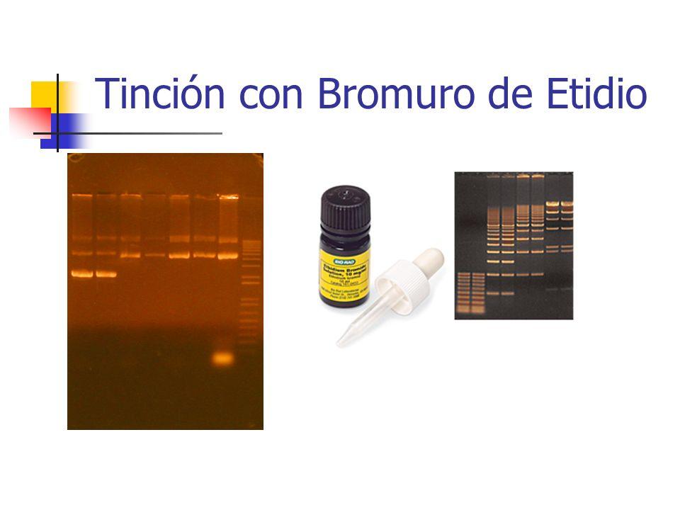 Tinción con Bromuro de Etidio