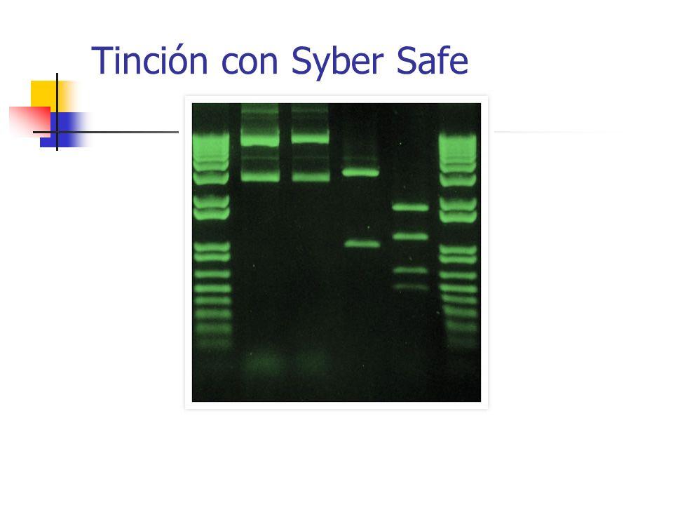 Tinción con Syber Safe