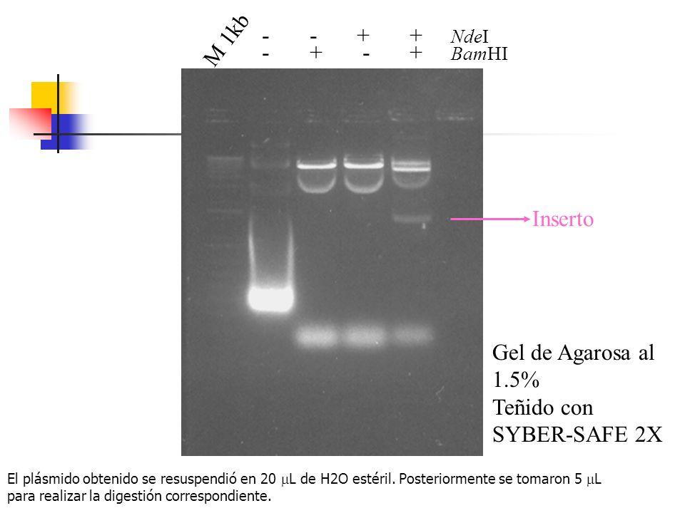 M 1kb - + - + BamHI - - + + NdeI Inserto Gel de Agarosa al 1.5% Teñido con SYBER-SAFE 2X El plásmido obtenido se resuspendió en 20 L de H2O estéril. P