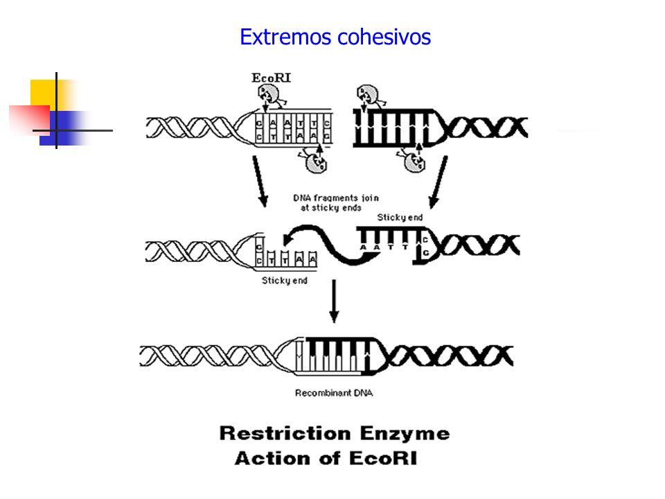 Extremos cohesivos