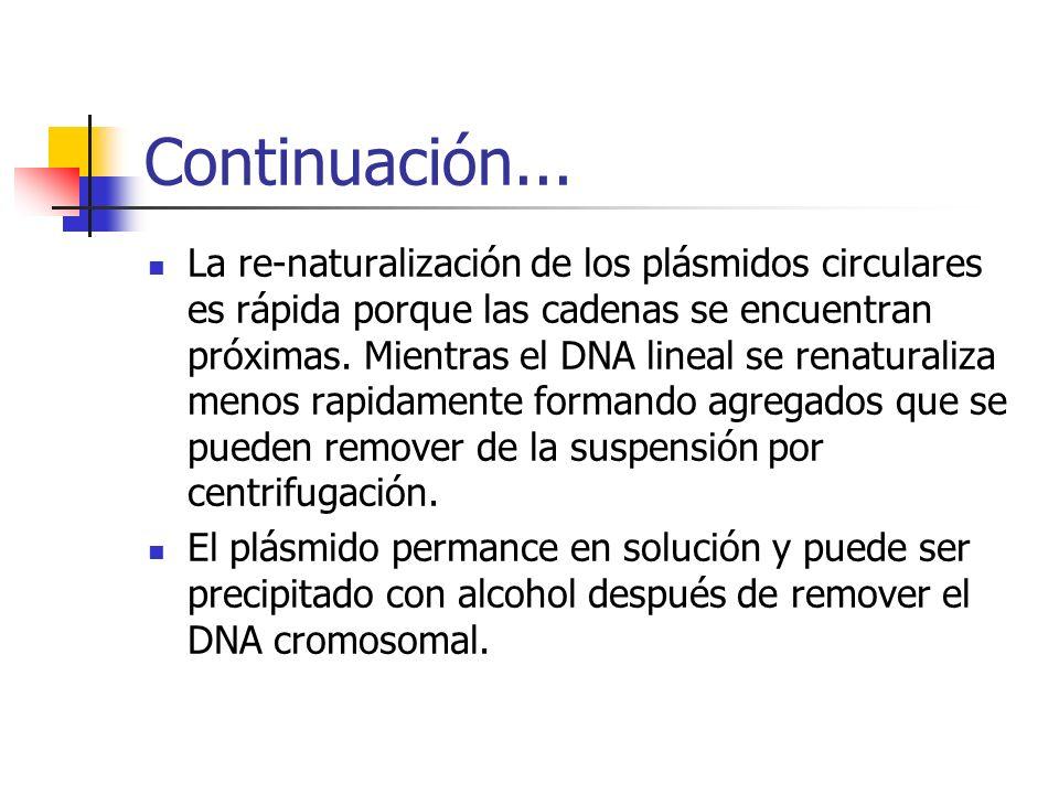 Continuación... La re-naturalización de los plásmidos circulares es rápida porque las cadenas se encuentran próximas. Mientras el DNA lineal se renatu