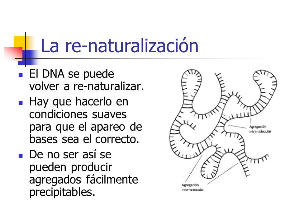 La re-naturalización El DNA se puede volver a re-naturalizar. Hay que hacerlo en condiciones suaves para que el apareo de bases sea el correcto. De no