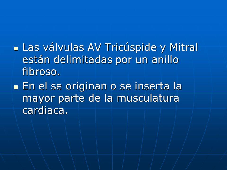 Las válvulas AV Tricúspide y Mitral están delimitadas por un anillo fibroso. Las válvulas AV Tricúspide y Mitral están delimitadas por un anillo fibro