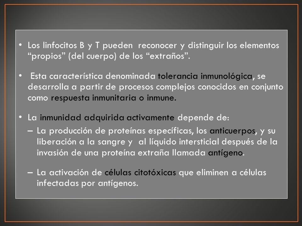 Los linfocitos B y T pueden reconocer y distinguir los elementos propios (del cuerpo) de los extraños. Esta característica denominada tolerancia inmun