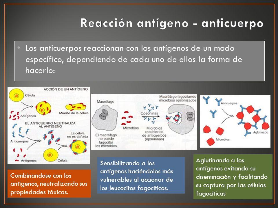Los anticuerpos reaccionan con los antígenos de un modo específico, dependiendo de cada uno de ellos la forma de hacerlo: Combinandose con los antígen