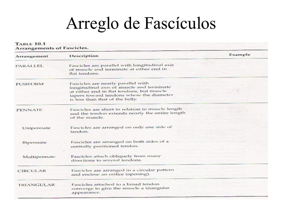 Músculos Esqueletales Orígen Inserción Motor primario Antagonista Sinergistas Fijadores