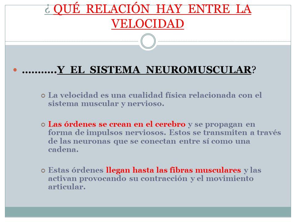 ¿ QUÉ RELACIÓN HAY ENTRE LA VELOCIDAD ………..Y EL SISTEMA NEUROMUSCULAR? La velocidad es una cualidad física relacionada con el sistema muscular y nervi