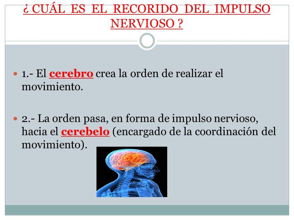 ¿ CUÁL ES EL RECORIDO DEL IMPULSO NERVIOSO ? 1.- El cerebro crea la orden de realizar el movimiento. 2.- La orden pasa, en forma de impulso nervioso,