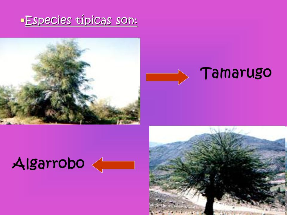 Tamarugo Especies típicas son: Algarrobo