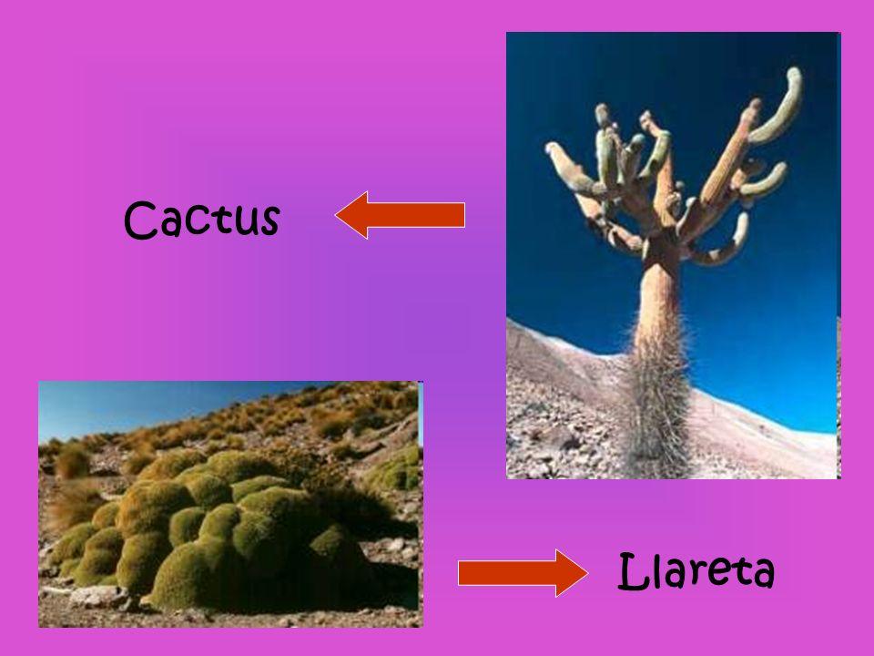 Llareta Cactus