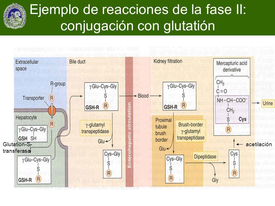 Glutation-S- transferasa acetilación Ejemplo de reacciones de la fase II: conjugación con glutatión