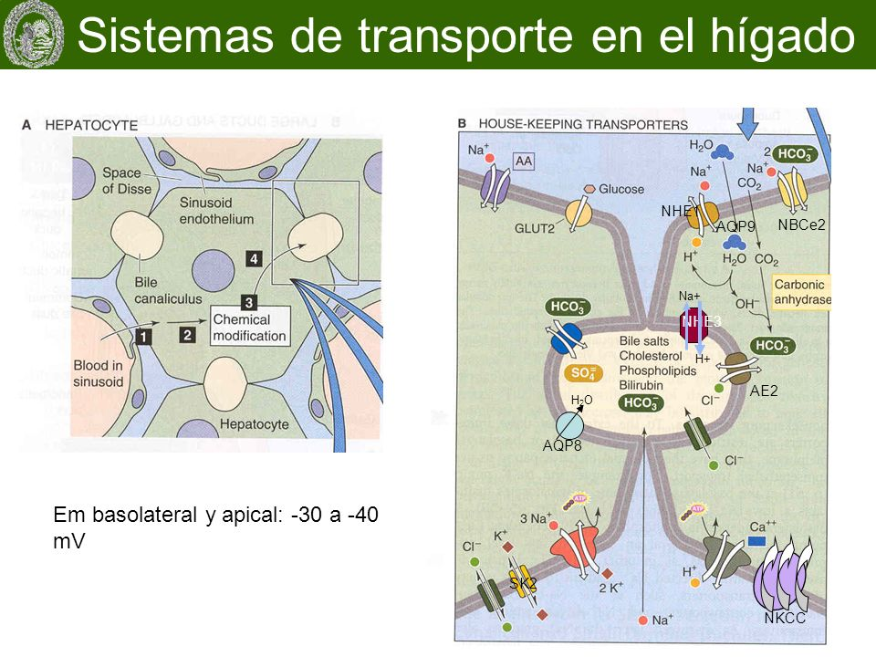 Em basolateral y apical: -30 a -40 mV Sistemas de transporte en el hígado NBCe2 NHE1 SK2 NKCC AE2 AQP8 NHE3 H+ Na+ H2OH2O AQP9