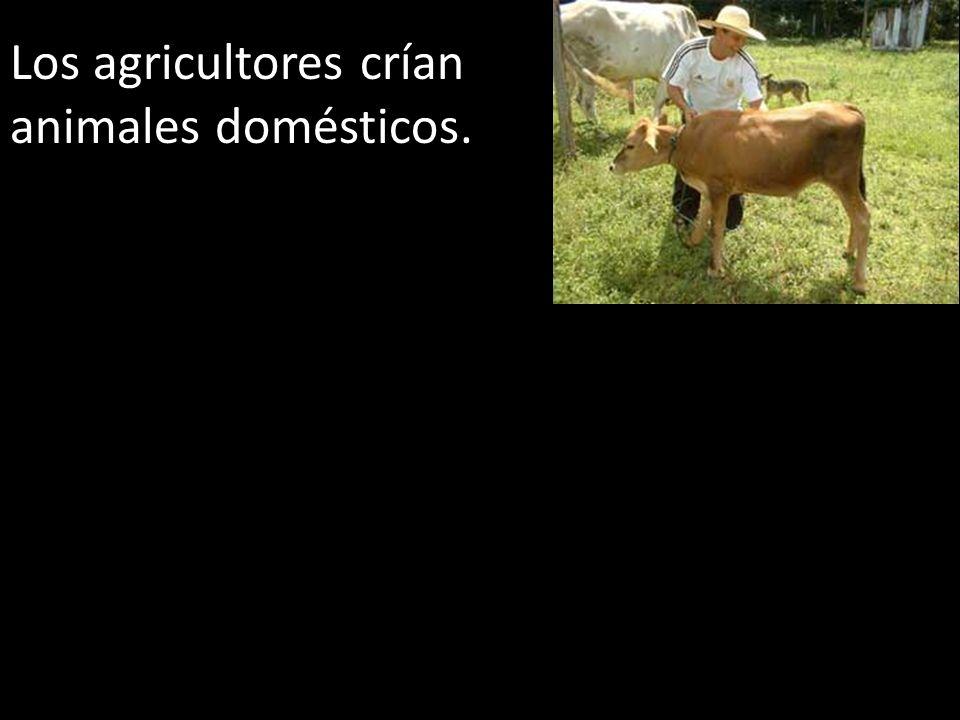 Los agricultores crían animales domésticos.
