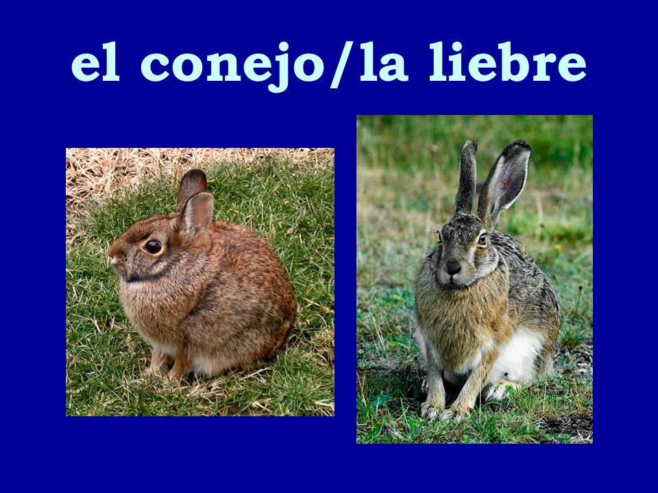 el conejo/la liebre