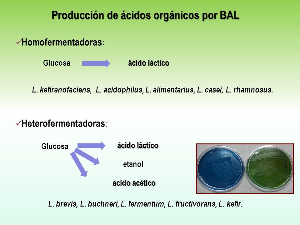 L. kefiranofaciens, L. acidophilus, L. alimentarius, L. casei, L. rhamnosus. Heterofermentadoras : ácido acético L. brevis, L. buchneri, L. fermentum,