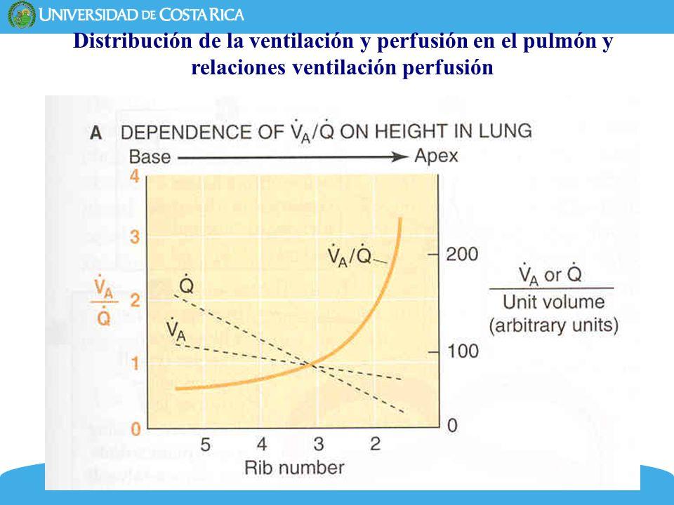 6 La base pulmonar está mejor ventilada y mejor perfundida que el apex.
